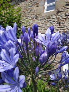 agapanthe jardin gite breton
