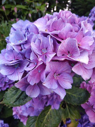 hortensia rose jardin gite breton